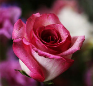 God's Conditional and Unconditional Love - Weekly Blog Post by Dr. Craig Biehl - pink rose